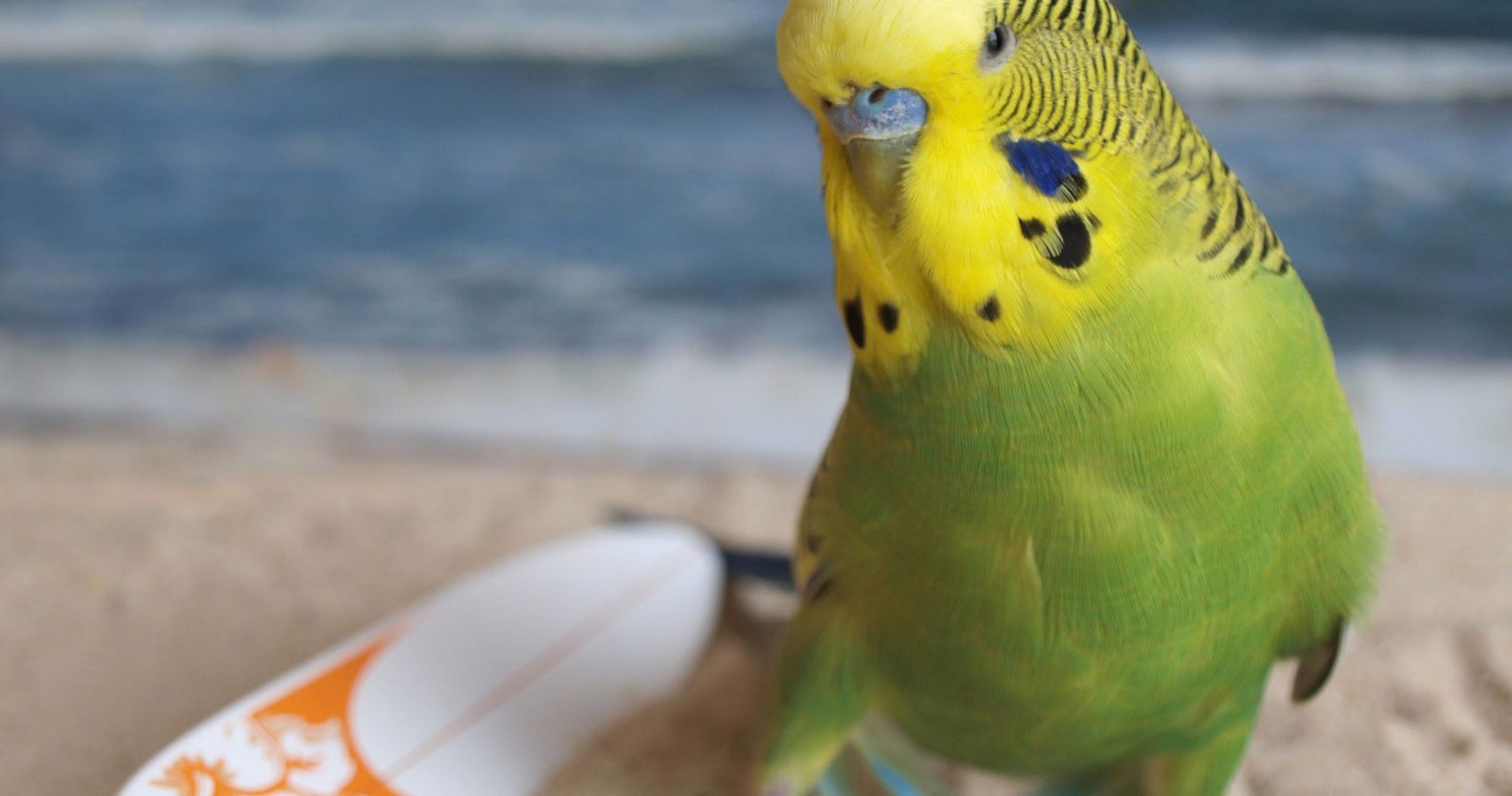 Ways To Entertain A Lonely Parakeet | TheThings